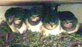 photo of 5 swallow chicks on parade